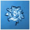 prasklina - květ